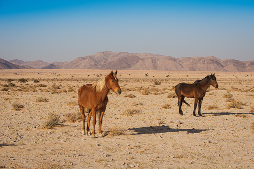 Uncultivated「wild horses of Namibia」:スマホ壁紙(9)
