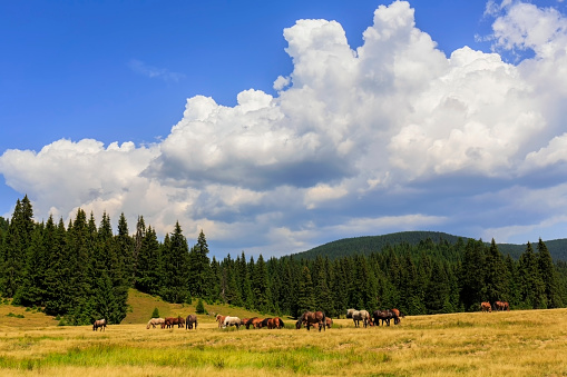 樹木「野生の馬とトランシルヴァニアの Apuseni 山のパッドで牧草地」:スマホ壁紙(18)