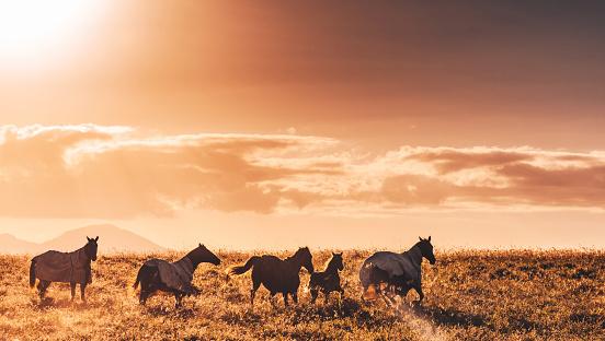 Stallion「wild horses in australia」:スマホ壁紙(5)