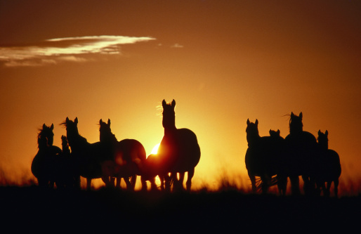 Horse「Wild Horses at sunset.」:スマホ壁紙(0)