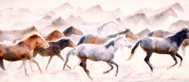 Animals In The Wild「Wild Horses of Anatolia」:スマホ壁紙(11)