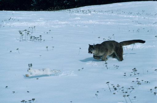 Animals Hunting「Cougar chasing snowshoe rabbit, varying hare on snow」:スマホ壁紙(0)