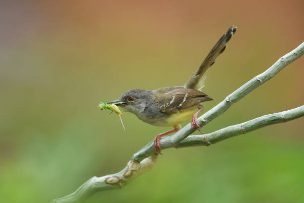 Bar-wing Prinia bird carrying a grasshopper in its beak, Indonesia:スマホ壁紙(壁紙.com)