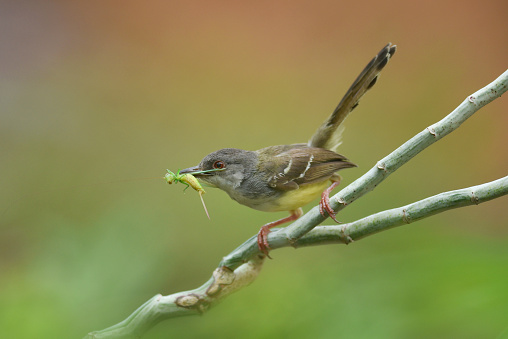 イエローキャブ「Bar-wing Prinia bird carrying a grasshopper in its beak, Indonesia」:スマホ壁紙(15)