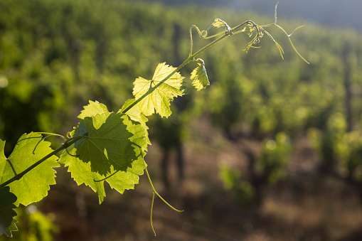 Pretty「Vines growing in the Douro valley」:スマホ壁紙(6)