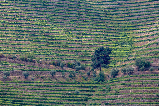 Pretty「Vines growing in the Douro valley」:スマホ壁紙(9)