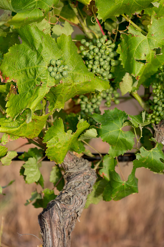 Pretty「Vines growing in the Douro valley」:スマホ壁紙(4)