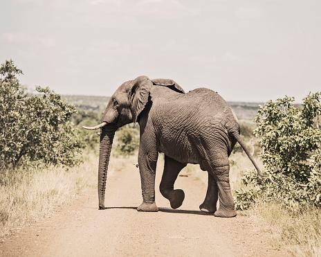 Elephant「Elephant crossing dirt road, Kruger National Park, South Africa」:スマホ壁紙(7)