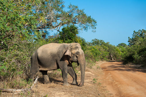Sri Lanka「Elephant crossing a road, Yala National Park, Sri Lanka」:スマホ壁紙(11)