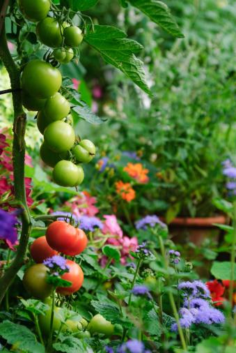 花壇「トマト」:スマホ壁紙(12)