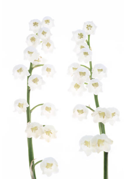 Two white Lily of the Valley flowers together on white.:スマホ壁紙(壁紙.com)