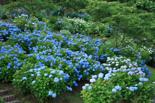 あじさい「Hydrangea Garden, Hashimoto, Wakayama, Japan」:スマホ壁紙(5)