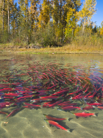 アダムズ川「Red Sockeye salmon in eddy and resting, Canada」:スマホ壁紙(6)