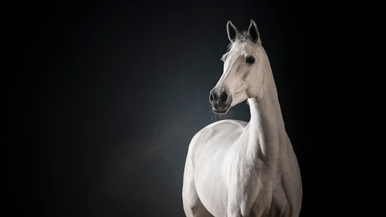 Horse「White horse against black background」:スマホ壁紙(16)