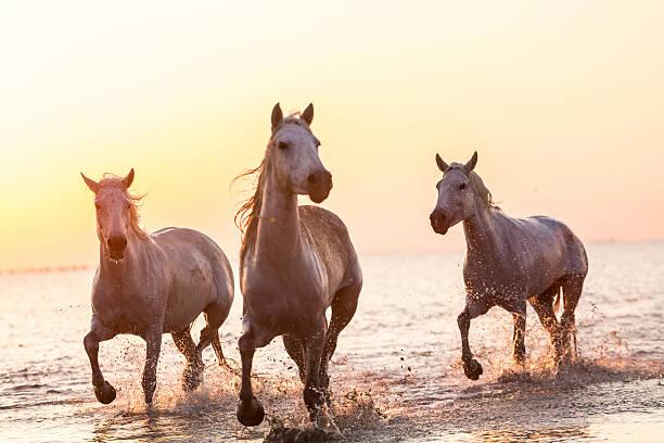 White horses running through water:スマホ壁紙(壁紙.com)