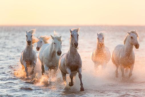 Horse「White horses running through water, The Camargue」:スマホ壁紙(15)