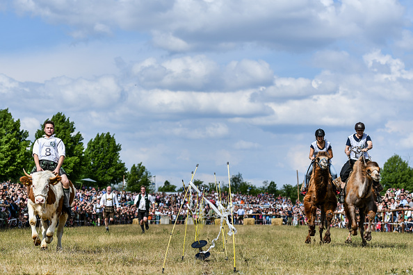 Wild Cattle「Camels Compete Against Oxen In Bavarian Race」:写真・画像(8)[壁紙.com]
