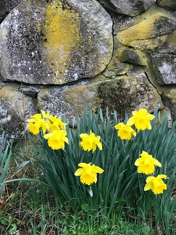 水仙「Daffodil Time」:スマホ壁紙(4)