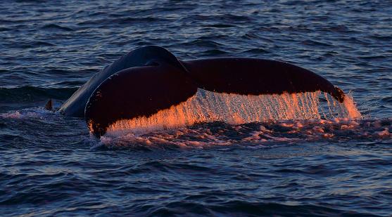 クジラ「ダイビング クジラ尾」:スマホ壁紙(8)
