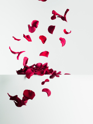 White Background「Red rose petals falling」:スマホ壁紙(10)