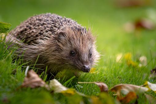 Animal Eye「Hedgehog in the garden」:スマホ壁紙(6)