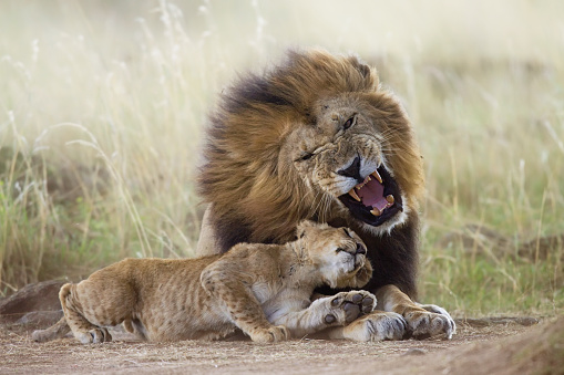 Grumpy Old Man「Lion cub trying to play with adult male」:スマホ壁紙(12)