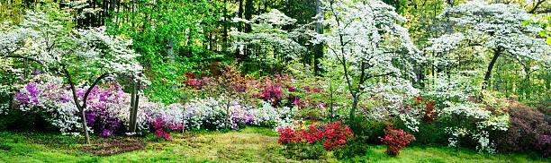 Colorful azalea garden and flowering dogwoods:スマホ壁紙(壁紙.com)