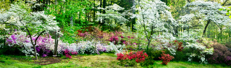 Woodland「Colorful azalea garden and flowering dogwoods」:スマホ壁紙(9)