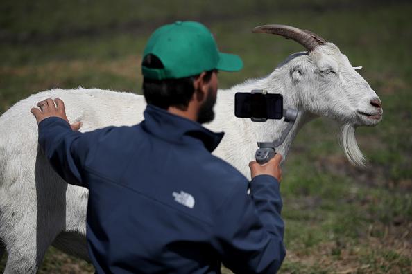 "Animal Themes「California Farm Offers ""Animal Ambassadors"" For Virtual Meetings During COVID-19 Lockdown」:写真・画像(2)[壁紙.com]"