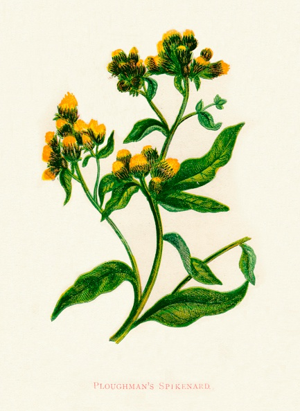 葉・植物「Ploughmans Spikenard, c1891, (1891)」:写真・画像(5)[壁紙.com]