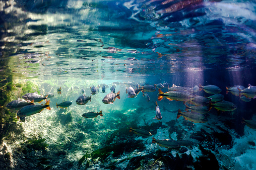 Ecosystem「Brazil, Bonito, School of fish in Sucuri river」:スマホ壁紙(2)