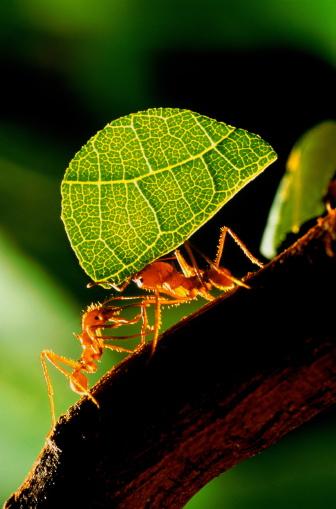 Effort「Leaf cutter ants (Atta sp.) carrying section of leaf」:スマホ壁紙(15)