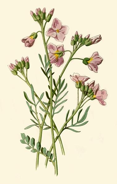 葉・植物「Ladys Smock」:写真・画像(11)[壁紙.com]