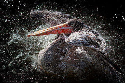 Animal「Pelican bird flapping its wings and splashing about in water」:スマホ壁紙(8)