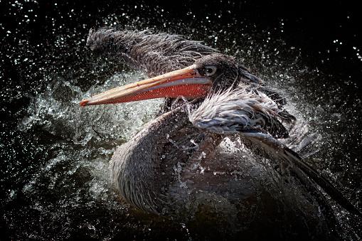 動物「Pelican bird flapping its wings and splashing about in water」:スマホ壁紙(9)
