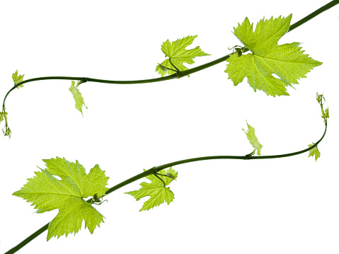 Grape「Leaves with different sizes growing on the ends of the vines」:スマホ壁紙(1)