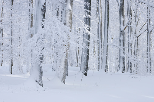Snow「Snow covered tree trunks in winter forest.」:スマホ壁紙(14)