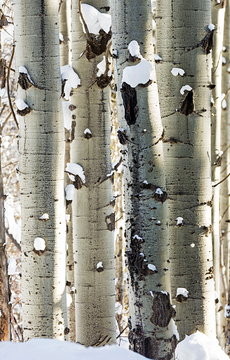 Aspen Tree「Snow covered white trunks of large Aspen trees」:スマホ壁紙(11)
