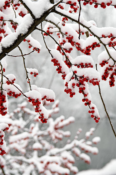 Snow Covered Berries:スマホ壁紙(壁紙.com)