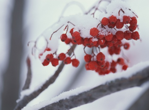 Rowanberry「Snow covered rowanberry」:スマホ壁紙(17)
