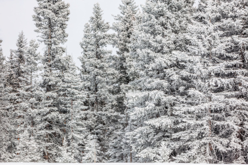 Carson National Forest「Snow covered pine trees」:スマホ壁紙(5)