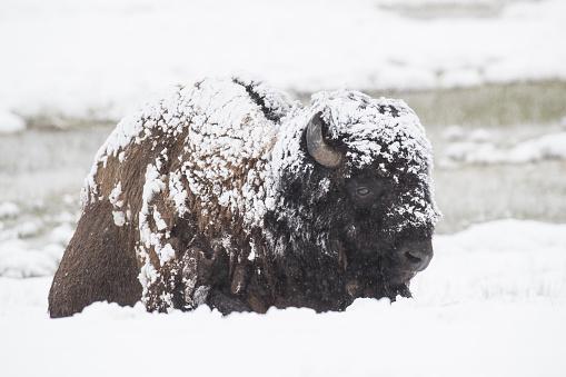 Cattle「Snow covered Bison」:スマホ壁紙(18)
