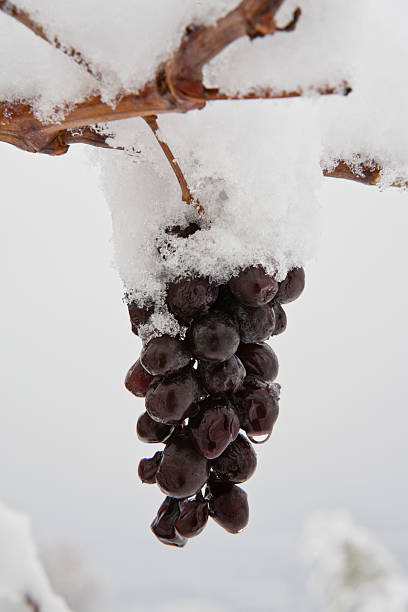 Snow Covered Grape:スマホ壁紙(壁紙.com)