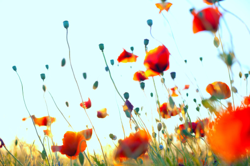 花畑「軽量レッドトウモロコシ poppies ワンダルフ」:スマホ壁紙(11)
