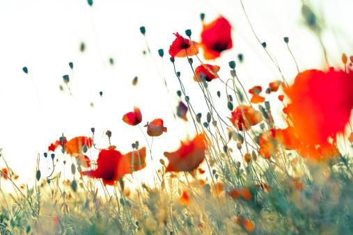 Annual Event「Wonderful weightless red corn poppies」:スマホ壁紙(17)