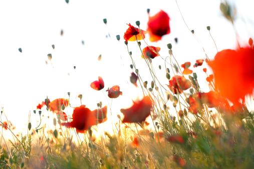 花畑「ワンダルフ軽量レッドトウモロコシ poppies の草地アゲインストスカイ」:スマホ壁紙(8)