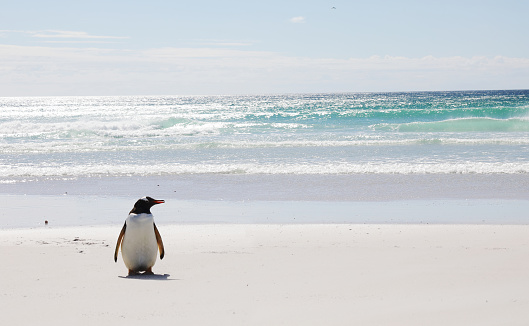 Falkland Islands「Lone king penguin on beach」:スマホ壁紙(0)