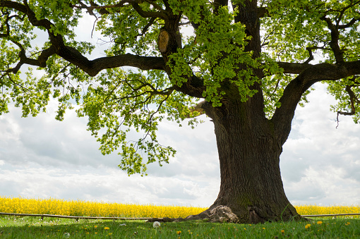 Single Tree「single oak at rape field」:スマホ壁紙(12)