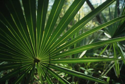 Ocala National Forest「Palmetto Frond」:スマホ壁紙(11)