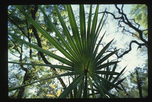 Ocala National Forest「Palmetto Frond」:スマホ壁紙(7)